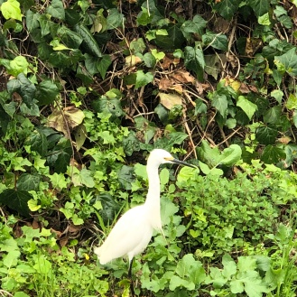 Our local Great Pacific Egret